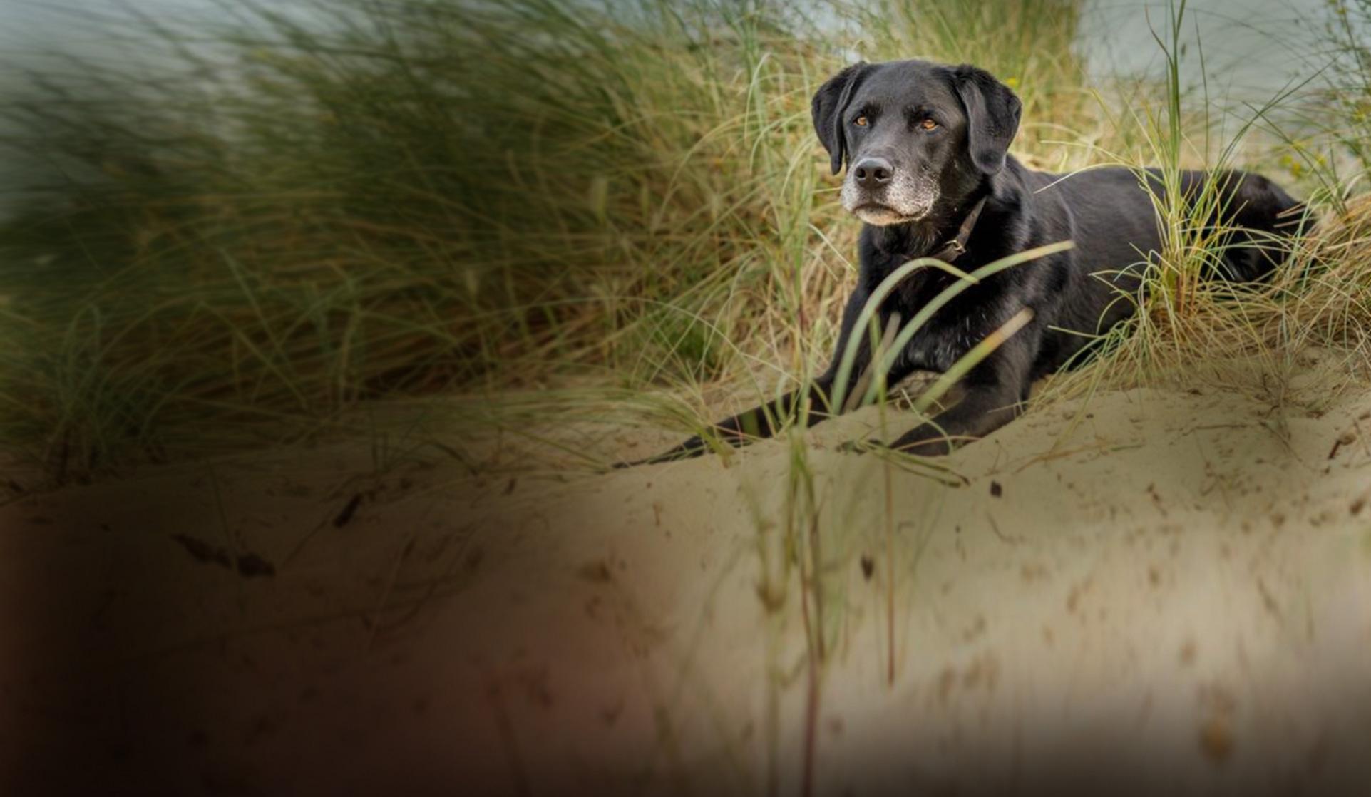 Dog in dune